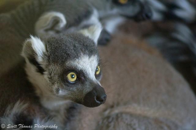 Ring-tailed Lemur Gaze