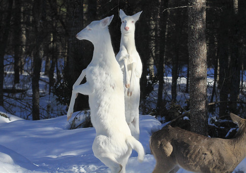 Albino Whitetail Deer Let's Dance