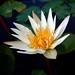 Lotus by calvin89