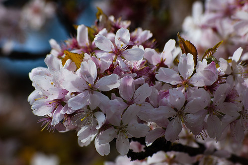 Japanese cherry flowering