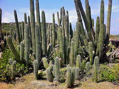 flower(0.0), nopal(0.0), opuntia(0.0), plant(1.0), flora(1.0), echinopsis pachanoi(1.0), caryophyllales(1.0), vegetation(1.0),