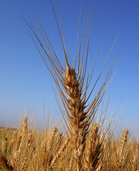 grass(0.0), phragmites(0.0), emmer(1.0), hordeum(1.0), prairie(1.0), agriculture(1.0), triticale(1.0), einkorn wheat(1.0), rye(1.0), food grain(1.0), field(1.0), barley(1.0), wheat(1.0), plant(1.0), food(1.0), crop(1.0), cereal(1.0), grassland(1.0), sky(1.0),