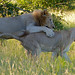 Small photo of Lions (Panthera leo) foreplay