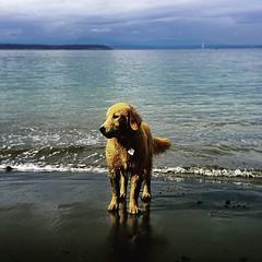 Duncan #whidbeyisland #washington #dog #goldenretriever