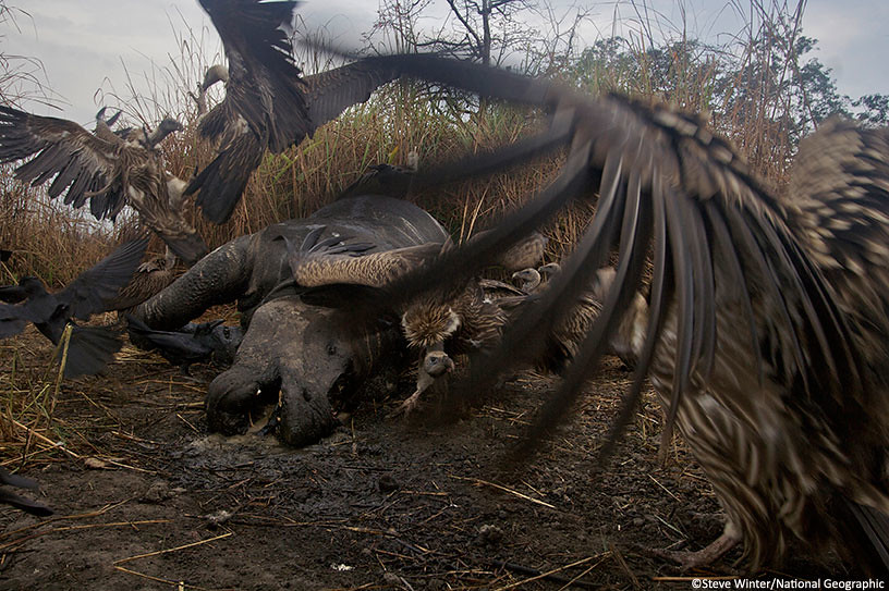 Vultures feeding on dead rhino