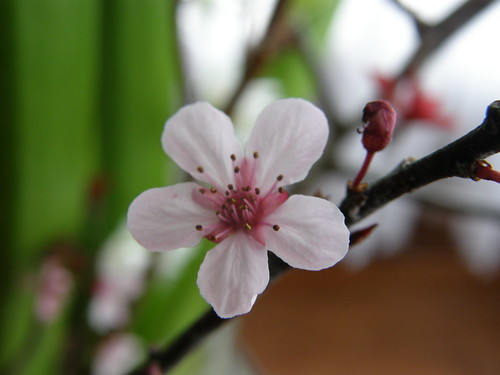 Prunus Branches Blooming