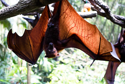 flying fox and his spread