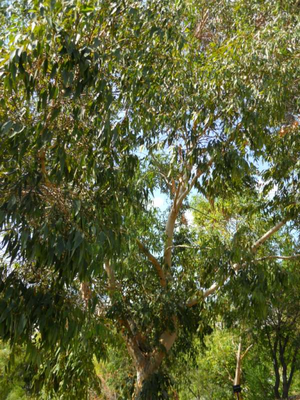 Eucalyptus diversicolor v 2