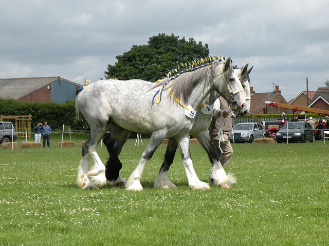 grey plaited/dapple shire horses are the most intriguing ...