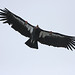 California Condor (Peter Dunn)