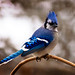 Mr. Blue Jay.