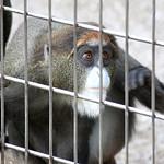 De Brazza's Monkey - 08
