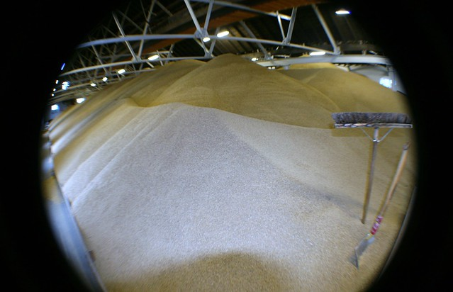 Barley for Malting at Whisky Distillery