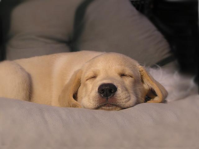 Puppys dream