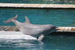 animal, marine mammal, common bottlenose dolphin, marine biology, fauna, dolphin, stenella, tucuxi,