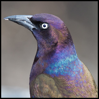 Common Grackle, The Ramble, Central Park, NY