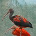 Scarlet Ibis by Truus & Zoo