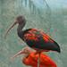 Scarlet Ibis by Truus & Zoo