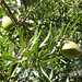 Small photo of Argan fruit.