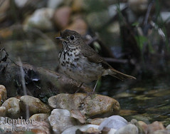 Hermit Thrush after Bath