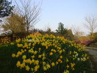 Daffodils near Westerham