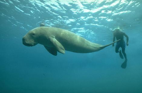 10721467-dugong