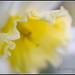 Daffodil Ruffles by GFletch -- persistently behind :)