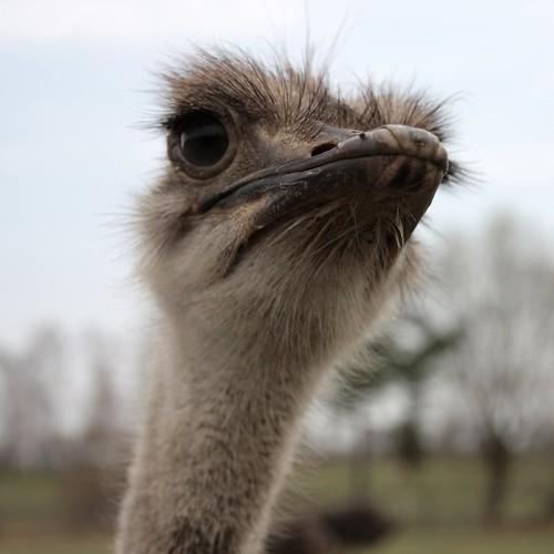 Afrikanischer Strauß / ostrich