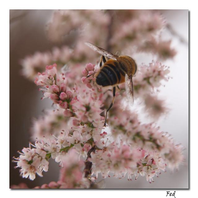 abeja acrobática