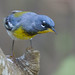 Northern Parula - Photo (c) Dan Pancamo, some rights reserved (CC BY-SA)