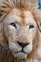 roar(0.0), savanna(0.0), nose(1.0), animal(1.0), mane(1.0), big cats(1.0), masai lion(1.0), lion(1.0), snout(1.0), mammal(1.0), fauna(1.0), close-up(1.0), whiskers(1.0), wildlife(1.0),