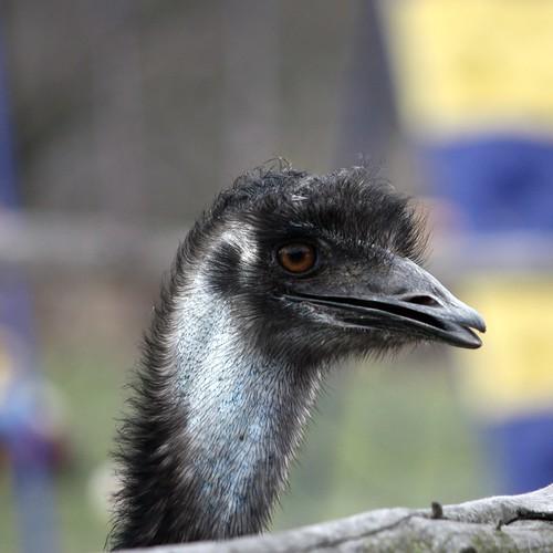 Emu / dromaius