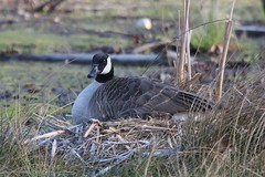 Canada Goose, Blue Spruce County Park, Indiana Co., PA
