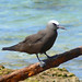 Brown Noddy - Photo (c) Larry Meade, some rights reserved (CC BY-NC-SA)