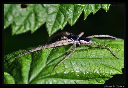 Araneae/Philodromidae