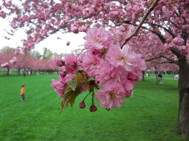 Prunus 'Kanzan' in bloom on Cherry Esplanade. Photo by Rebecca Bullene.