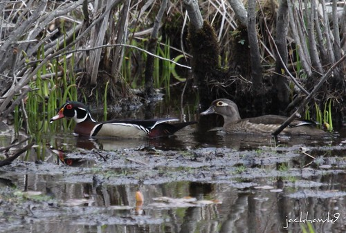 """Wood Duck - Aix sponsa"""