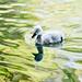 Duckling by kozeyar