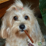 Cigar Doggy Treat - Koh Samui, Thailand