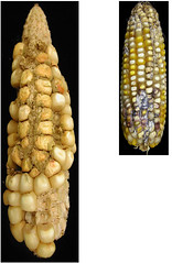 Wed, 05/25/2011 - 16:42 - Aspergillus (left) and Fusarium (right) colonized maize. Photo by IITA. (file name AFLA_002). ONLY low res available.