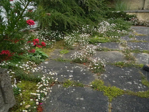 Daisies, entrance to Pine House Gardens