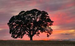 Lone Oak - Sunset