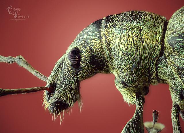 Nettle Weevil / Phyllobius pomaceus