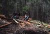 Timber cutters, bullocks & pit timber, Garden Gully, Congewai, NSW, 8 December 1983