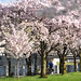Cherry blossoms in Waterfront Park-2-1