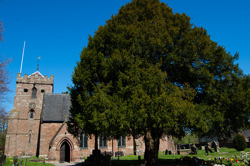 Yew tree, Albrighton church