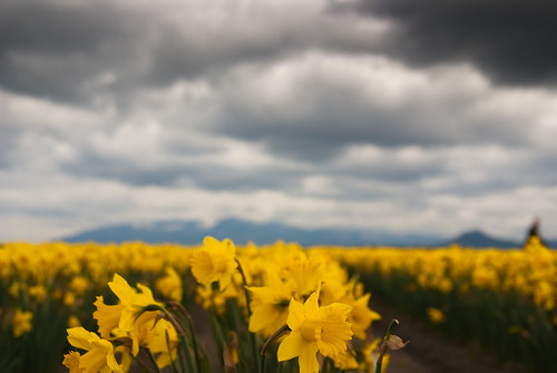 daffodils brighten the day