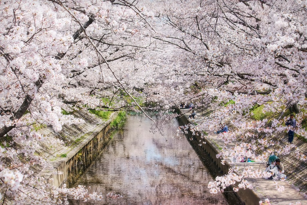 Sakura Covered River