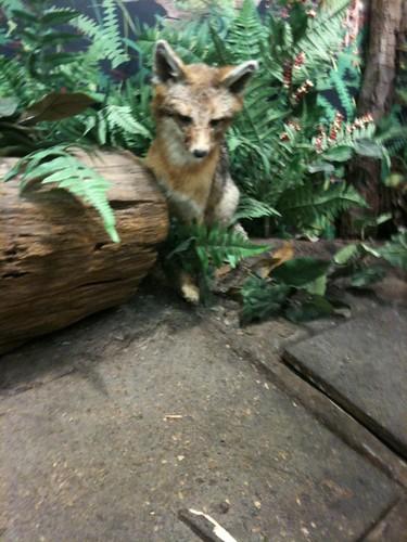 red fox terrestrial ecosystem tecol biol1210sp11d