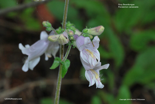 Eastern Gray Beardtongue - Penstemon canescens